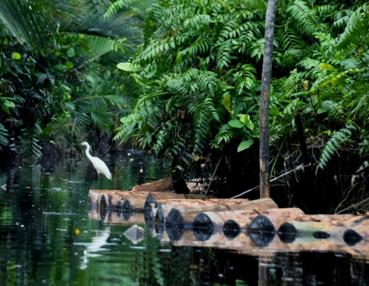 Egret caught resting on floating Sago logs